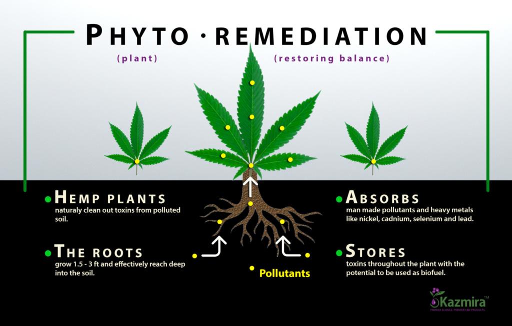phytoremediation with hemp