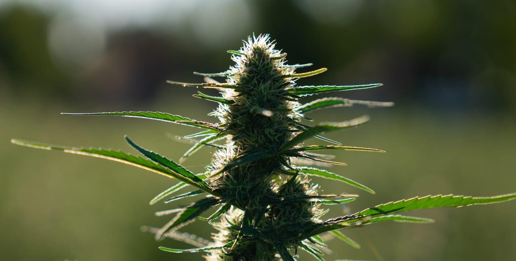 what is the hemp ruderalis type