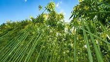 CBD hemp plants