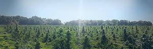 Oregon OG bred and grown hemp strain