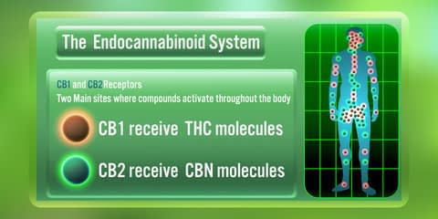 how CBD interacts with receptors