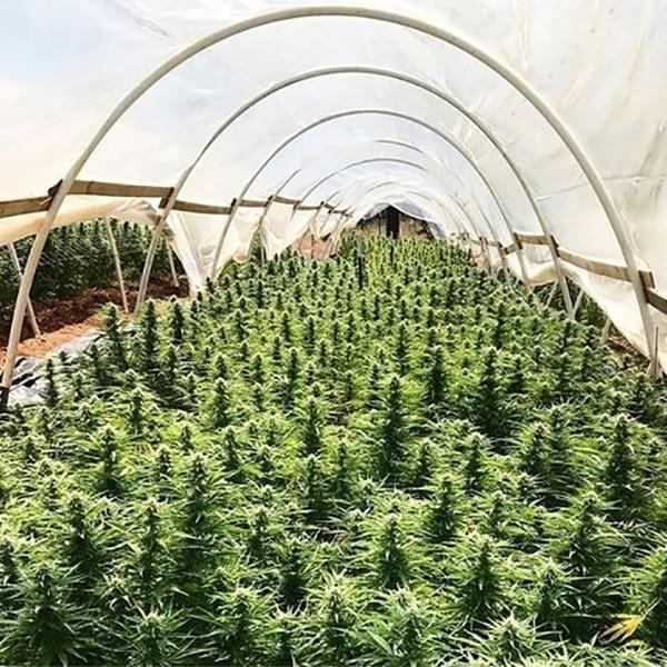 hemp strains