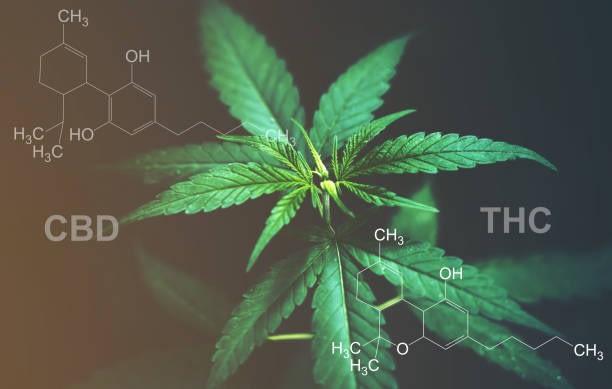 marijuana CBD and hemp CBD