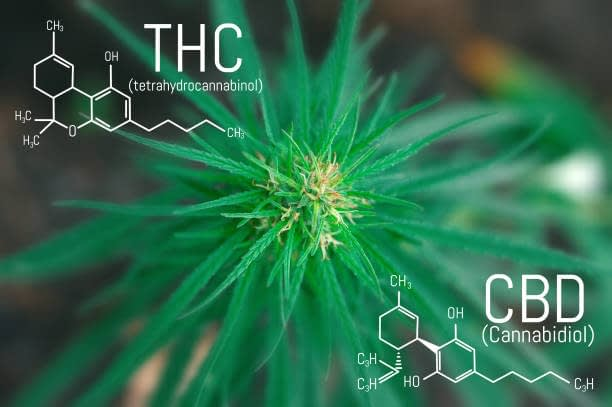 marijuana or CBD hemp