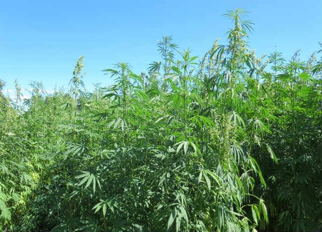 hemp plant divided