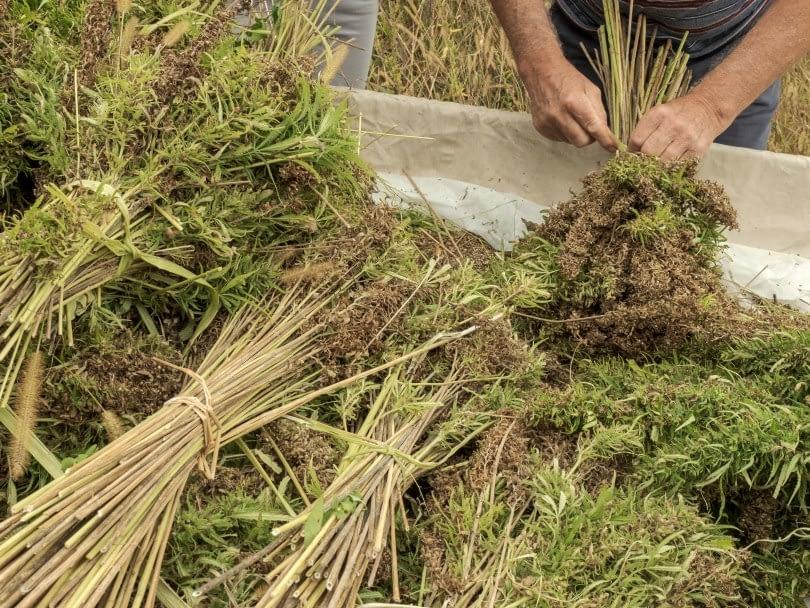 uses of biomass hemp