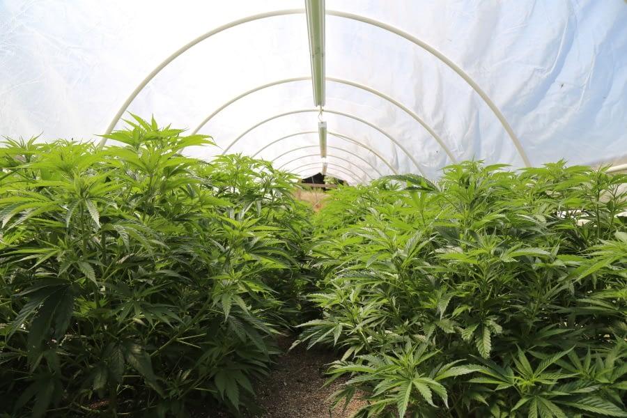 buying indoor grown hemp flower