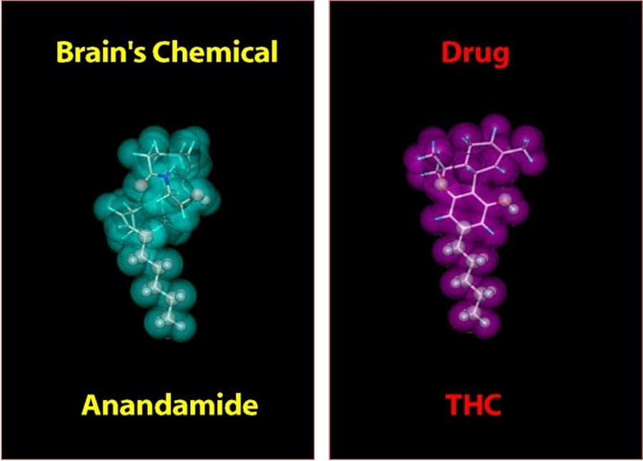 Anandamide: The Bliss Molecule