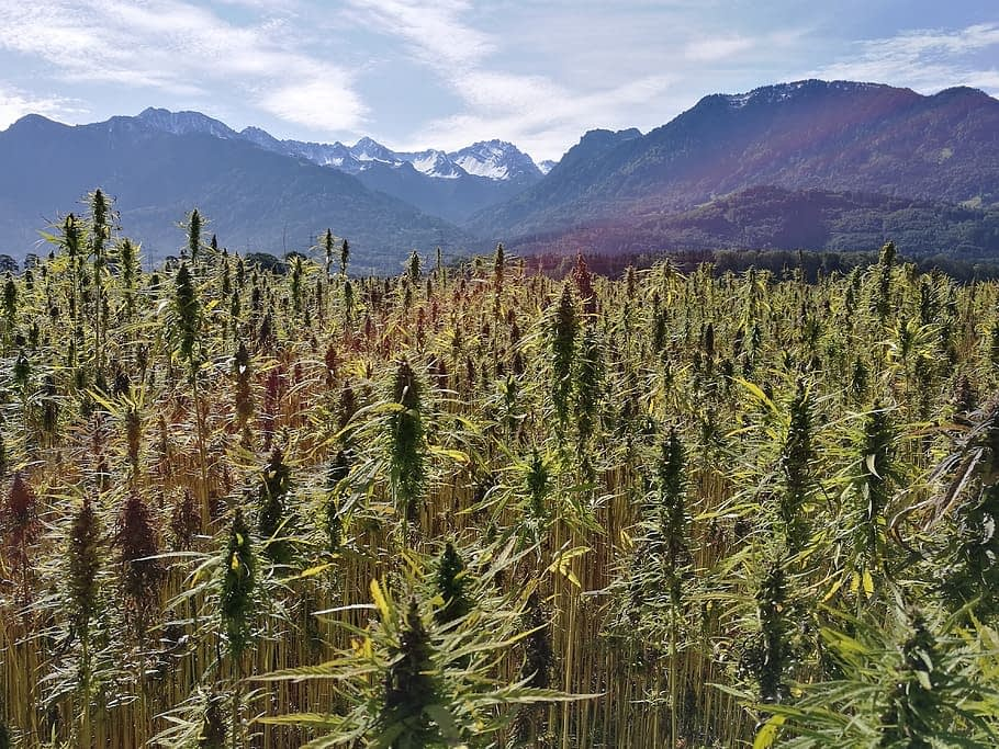 4 stages of an amazing hemp plant