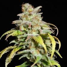 Harlequin hemp strain as a celebrity