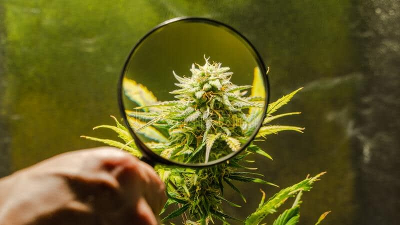 benefits of CBD hemp flower